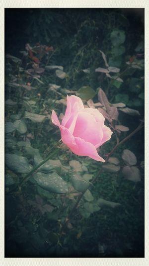 Gullerin icinden canim kosarak gel Pink Pink Rose Pink Flower Pretty ın Pink