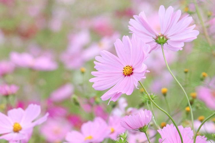 コスモス Japan Pink お散歩 秋桜 花 お写ん歩 Flower Head Beauty In Nature Nature Close-up Cute Flower EyeEm Selects Flowers