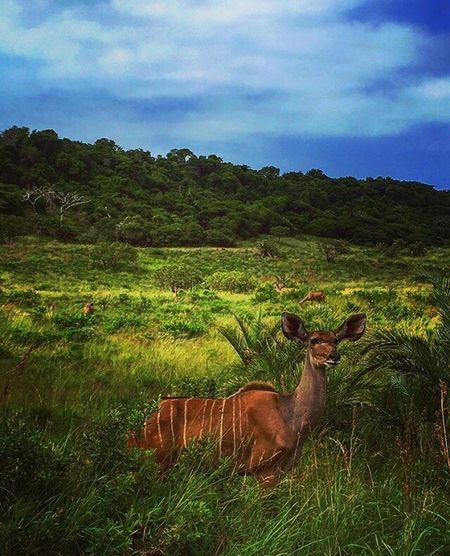 Buck safari