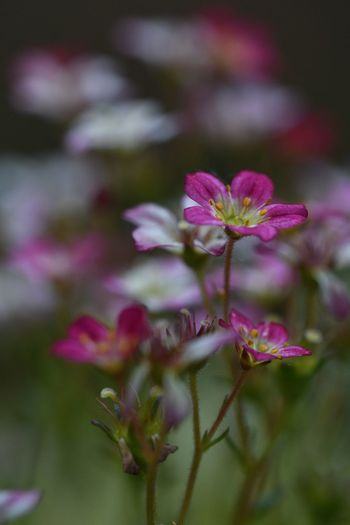 Plant Flower Flowering Plant Beauty In Nature Freshness Vulnerability  Fragility Pink Color Close-up Selective Focus