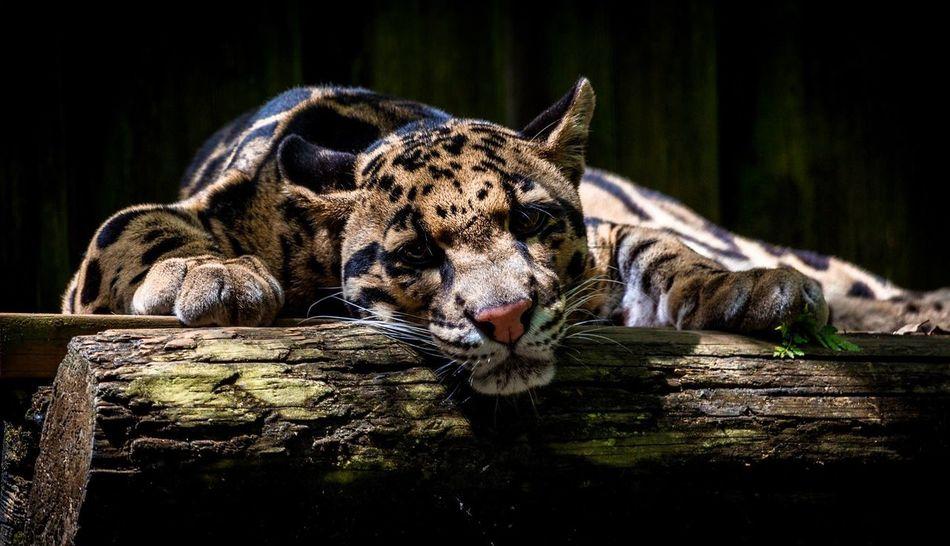 Tampa Fl Lowry Park Zoo Cloud Leopard Bigcat Eyem Best Shots Eye4photography