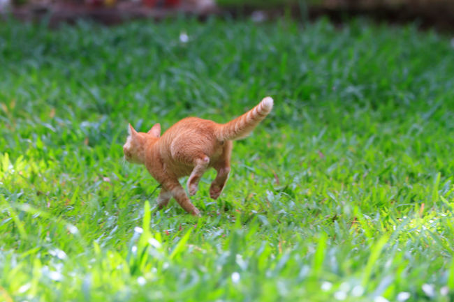 Cats Of EyeEm Running Animal Themes Cat Lovers Day Domestic Animals Field Full Length Grass Green Color Growth Mammal Nature No People One Animal Outdoors Pets Plant Playful Kitten Running Selective Focus
