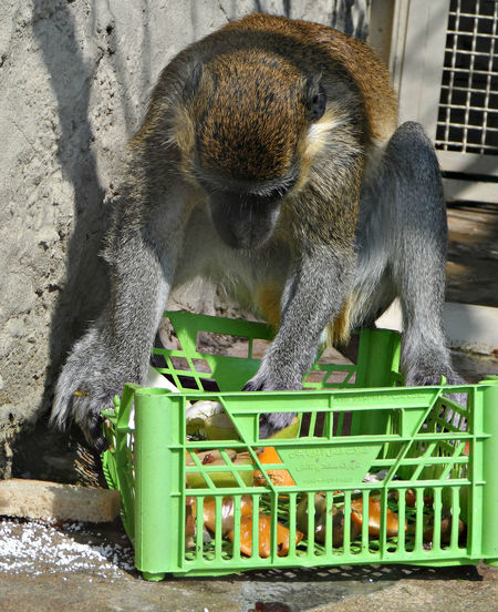 Monkey Eating From Crate At Yekaterinburg Zoo