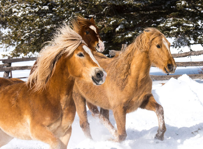 Colorado Herd Of Horses Winter Snow Group Of Animals Ranch Life Three Animals Field Nature No People Livestock Herbivorous Brown Cold Temperature Horse Domestic Domestic Animals Animal Themes Horse Themes Vertebrate Pets Mammal Galloping Horses Animal Animal Wildlife