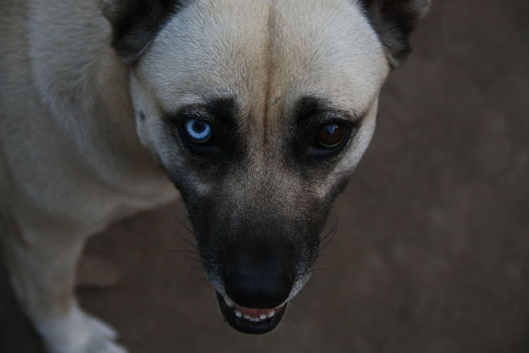 Animal Head  Animal Themes Close-up Dog Domestic Animals Eyes Looking At Camera Pets Portrait Twocoloreyes