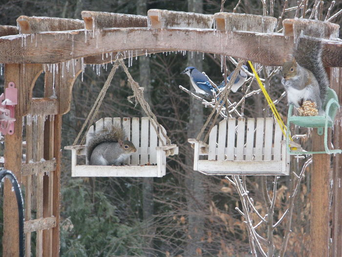 Arbor Birdfeeder Bluejay Day Ice Nature No People Outdoors Squirrels Swing Winter
