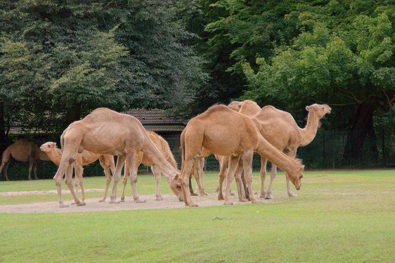 Camels grazing in the field