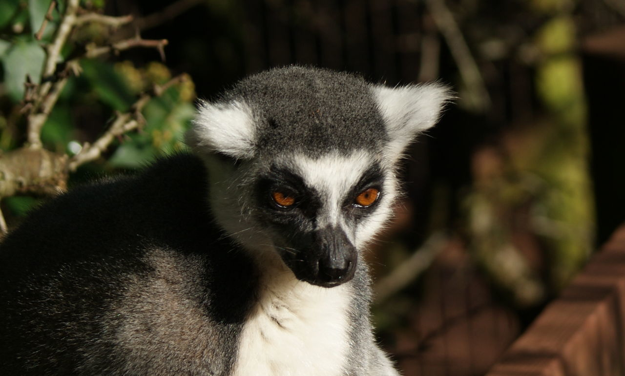 one animal, mammal, focus on foreground, lemur, portrait, animals in the wild, close-up, animal wildlife, vertebrate, no people, looking at camera, day, outdoors, nature, animal body part, looking, tree, whisker, animal eye