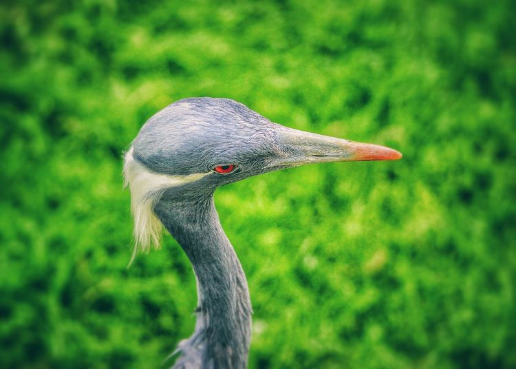 Close-up of demoiselle crane on field