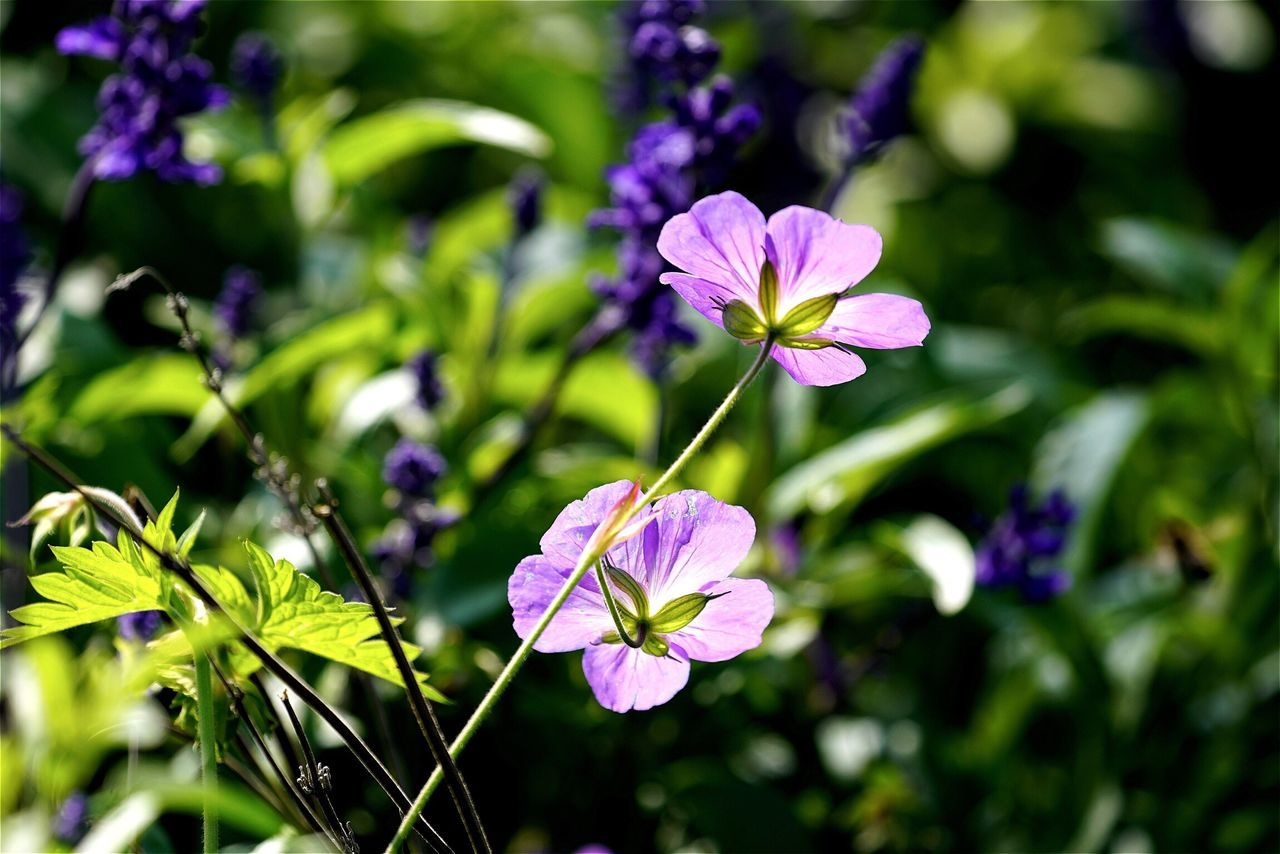 Close-Up Of Purple Flowers Growing In Garden