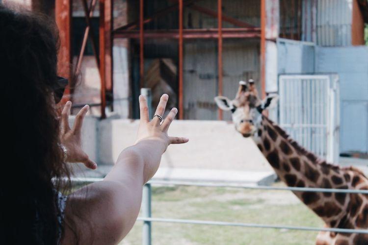 EyeEm Selects Human Hand Women Mid Adult Close-up Zoo Cage Budgerigar Tiger Monkey Giraffe Nebraska Parakeet Parrot Captivity Meerkat Llama Stable Birdcage Alpaca Friend HEAD Visiting Giant Panda Animals In Captivity