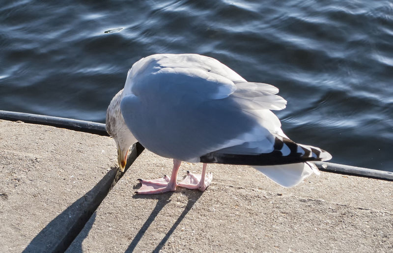 It's lost something Bird One Animal Animal Wildlife Animals In The Wild Animal Themes Seagull Sea Bird Water Perching Outdoors Lake No People Nature Southsea Portsmouth Hampshire  England