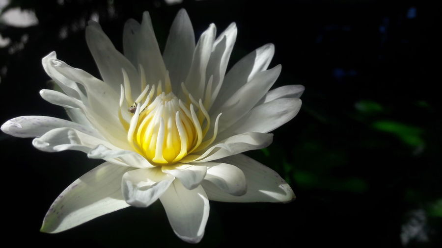 Beauty In Nature Black Background Blooming Close-up Day Flower Flower Head Fragility Freshness Growth Nature No People Outdoors Petal Plant White Color