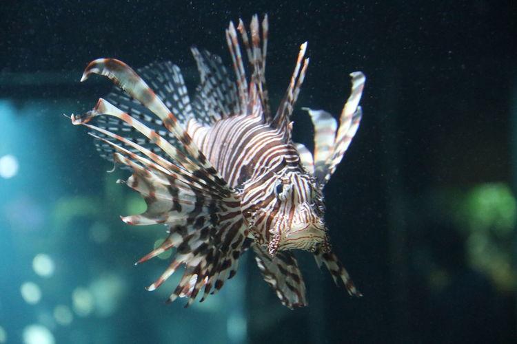 Close-up of lionfish