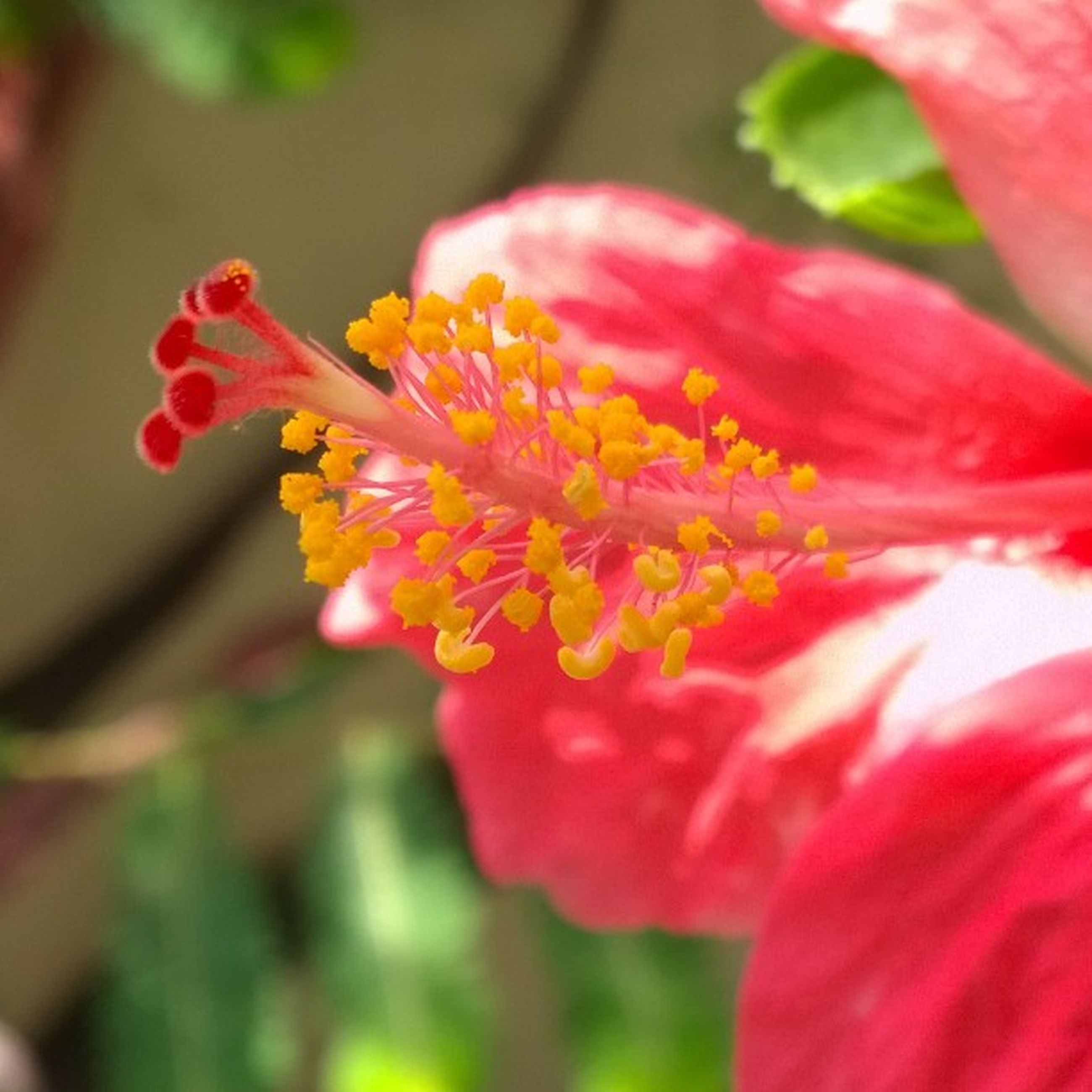 flower, petal, freshness, flower head, fragility, red, beauty in nature, growth, close-up, blooming, pollen, focus on foreground, nature, stamen, single flower, in bloom, selective focus, plant, blossom, pink color