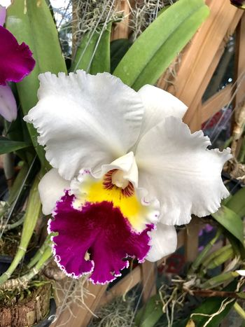 Flower Growth Beauty In Nature Flower Head Plant Blooming Cattleya Orchid