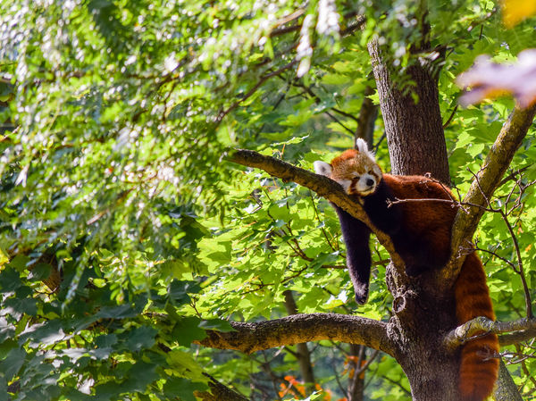 Branch Mammal Nature One Animal Panda Red Red Panda Tree Zoo