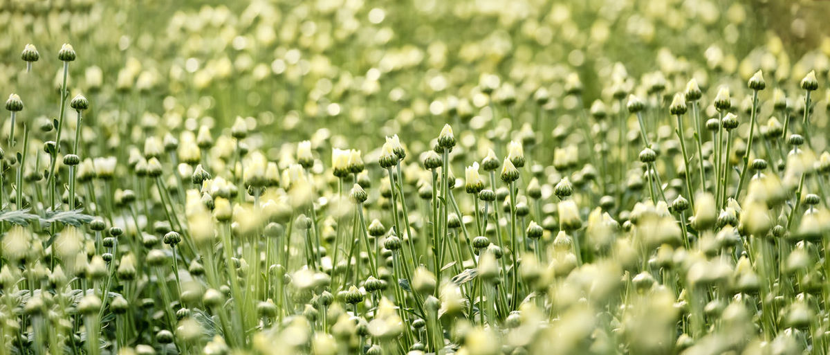 Full frame shot of flowering plants on field