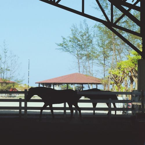 Tree Chair Animal Themes Day One Animal Table Nature No People Clear Sky Mammal Outdoors Sky Domestic Animals Beauty In Nature Equestrian Life Horse Silhouette Equestrian Malaysia at Terengganu Equestrian Resort in Malaysia EyeEmNewHere