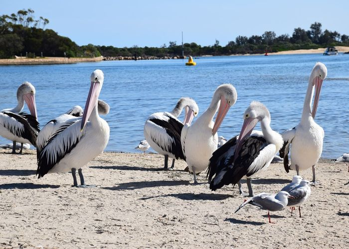 Group Of Animals Bird Water Animals In The Wild Nature Animal Vertebrate Animal Wildlife Animal Themes Day Beach Lake Land Sunlight No People Large Group Of Animals Beauty In Nature Pelican Lakeshore Outdoors