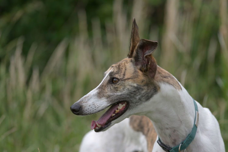 Vibrant horizontal portrait of a pet white and brindle greyhound looking away. blurred background