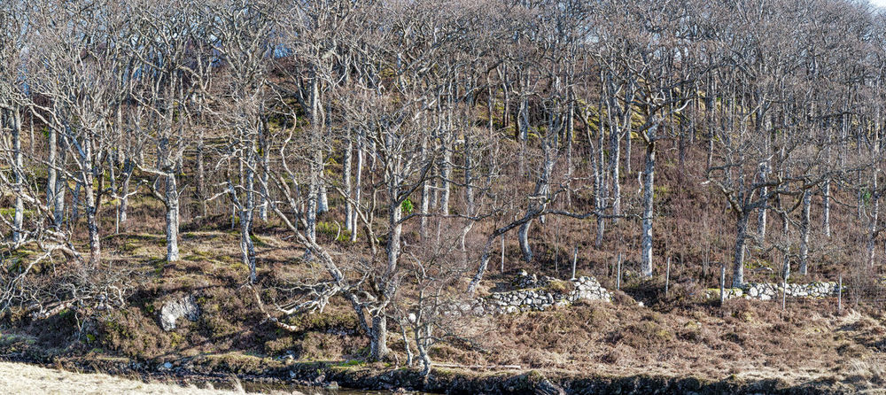 Scotland 💕 Bare Tree Beauty In Nature Close-up Day Dried Plant Forest Grass Growth Nature No People Outdoors Photo Merge Photography Plant Stone Dyke Wall Tranquility Tree Trees With No Foliage Wintering Trees