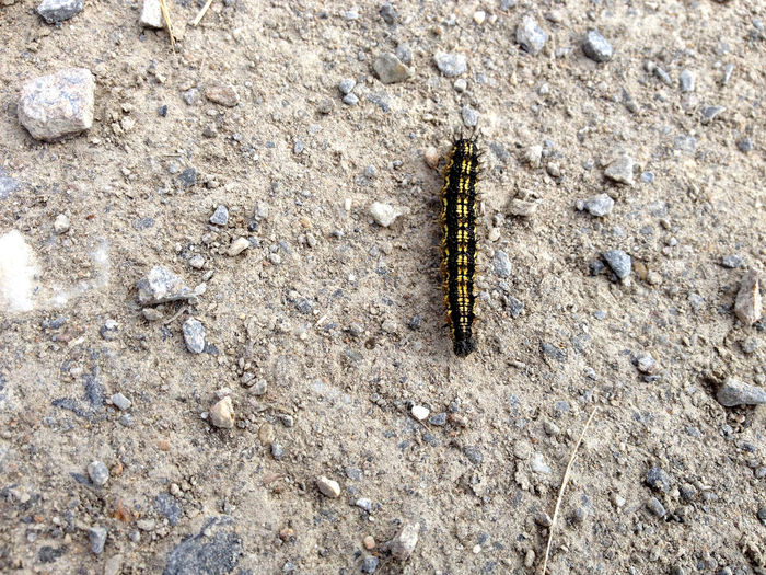 Asphalt Centipede Animal Themes Animal Wildlife Animals In The Wild Caterpillar Close-up Day High Angle View Insect Nature No People One Animal Outdoors