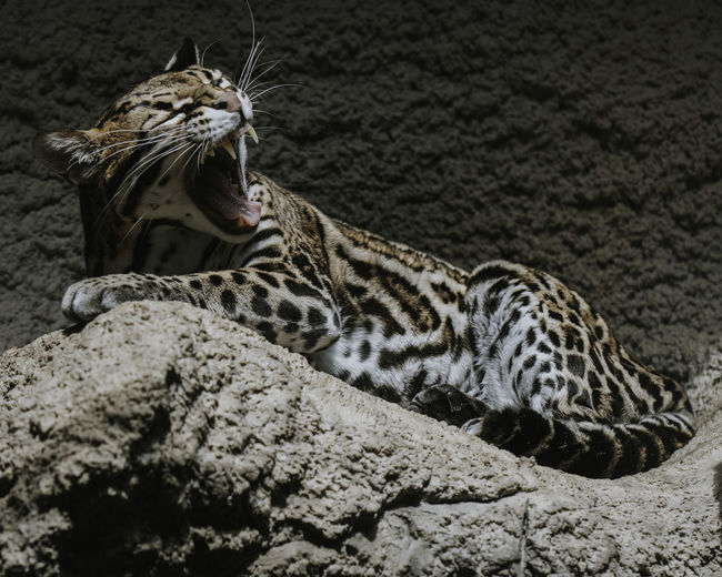 Ocelot. EyeEm EyeEm Best Shots EyeEm Best Shots - Nature EyeEm Nature Lover EyeEm Selects EyeEm Gallery Animal Themes Animal Wildlife Cat Lazy Ocelot Yawning Animal Zoo Animals  Zoology Zoophotography