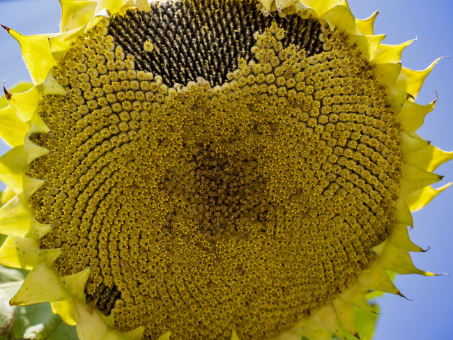 Sunflower under Sun light close up photography Close-up Yellow Beauty In Nature No People Growth Flower Head Freshness Flower Inflorescence Fragility Vulnerability  Sunflower Plant Green Color Flowering Plant Focus On Foreground Nature Pollen Petal Day Spiky