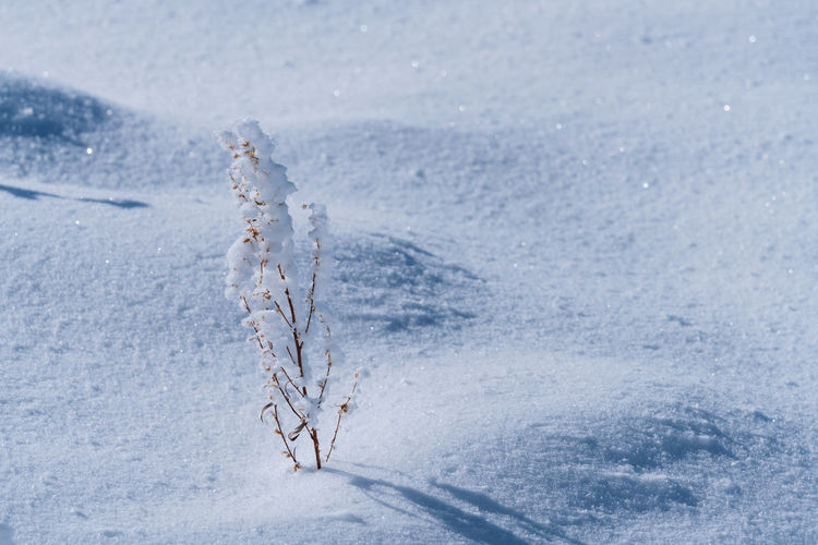 Frozen plant on snow covered land