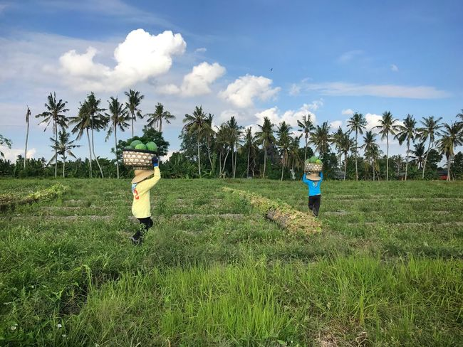 Sky Field Growth Real People Cloud - Sky Day Green Color Watermelon Watermelon Field Harvesting Nature Outdoors Agriculture Bali Fruit Harvest Beauty In Nature People Travel Destinations Lost In The Landscape An Eye For Travel