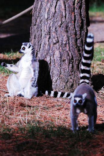 Lemurs Lemurs