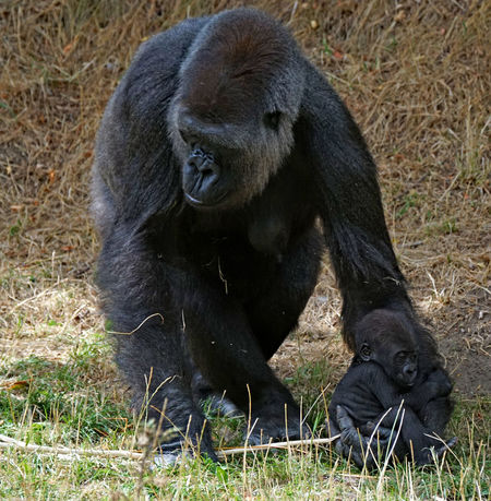 Animal Family Animal Wildlife Animals In The Wild Ape Black Color Day Field Gorilla Land Mammal Nature No People One Animal Outdoors Plant Primate Sitting Vertebrate