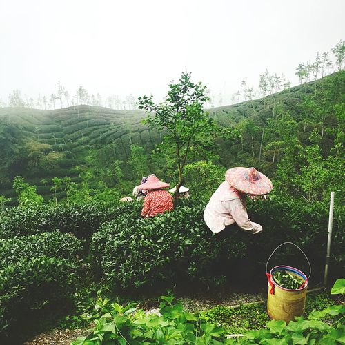 Taiwan Tea The Best Tea In The World Lugu Area Tea Garden Worker
