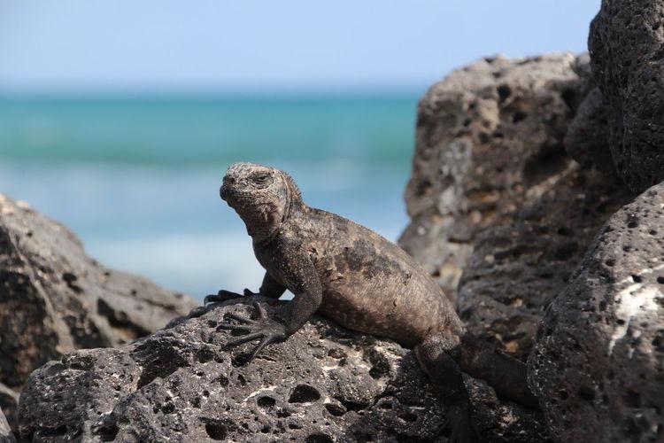 Close-Up Of Iguana On Rock At Galapagos Islands