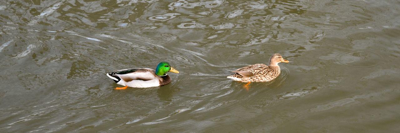 Animal Themes Animal Wildlife Animals In The Wild Bird Duck Lake Mandarin Duck Nature Swimming Water Water Bird
