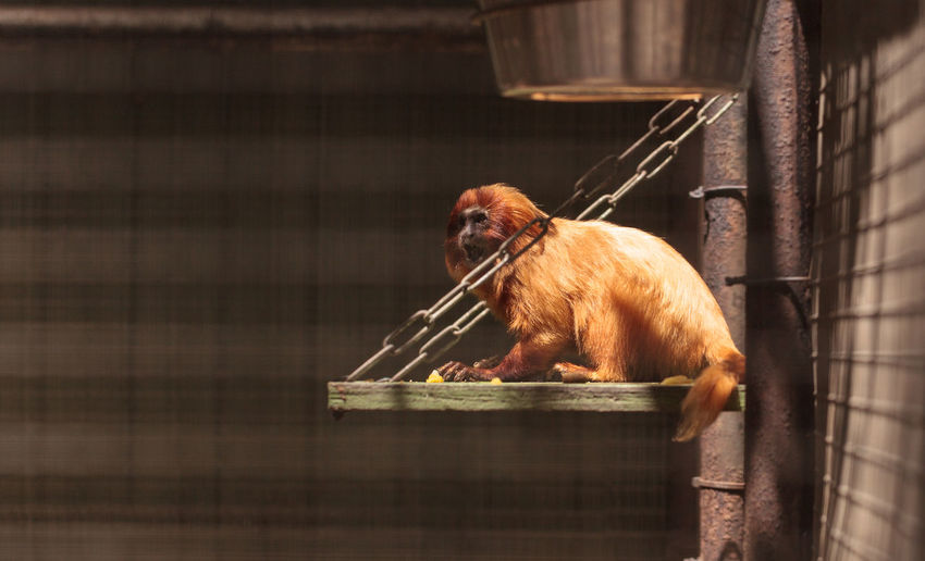 Golden Lion Tamarin Leontopithecus rosalia monkey sits in a cage in a zoo. Animal Themes Animal Wildlife Animals In The Wild Cage Caged Captivity Day Golden Lion Tamarin Leontopithecus Rosalia Mammal Monkey Nature No People One Animal Simian Wildlife