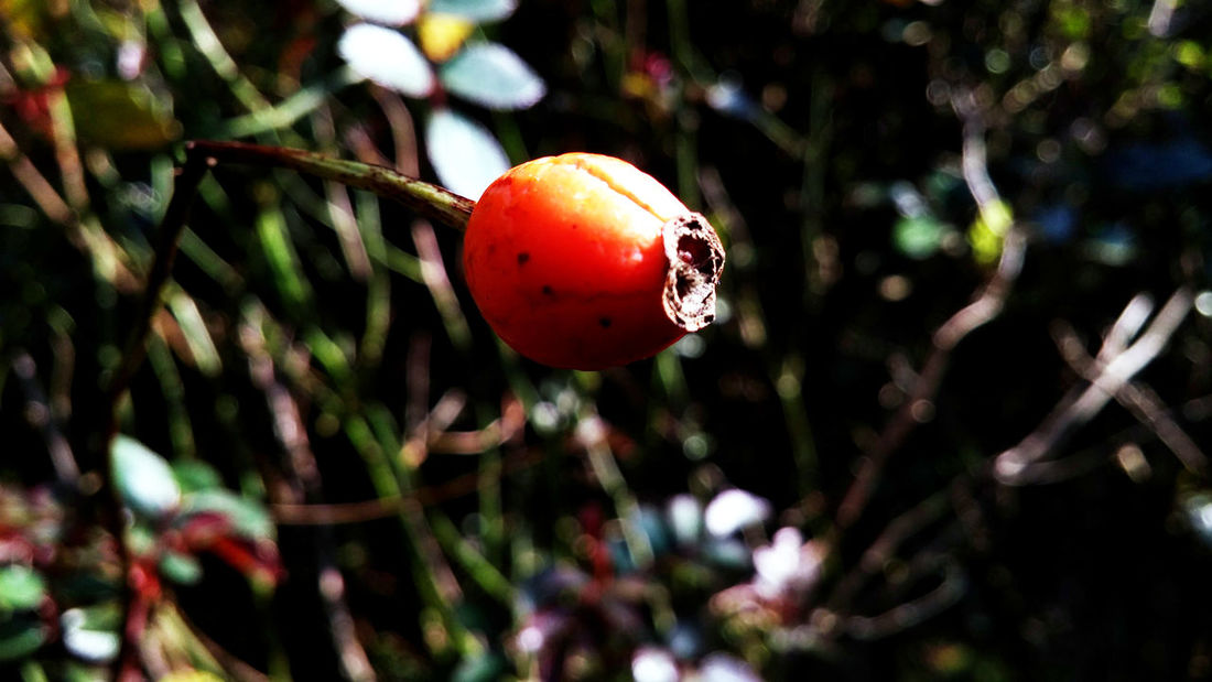 Rose hip Beauty In Nature Close-up Focus On Foreground Freshness Fruit Growing Growth Nature No People Outdoors Plant Red Rose Hip Roses Selective Focus Stem