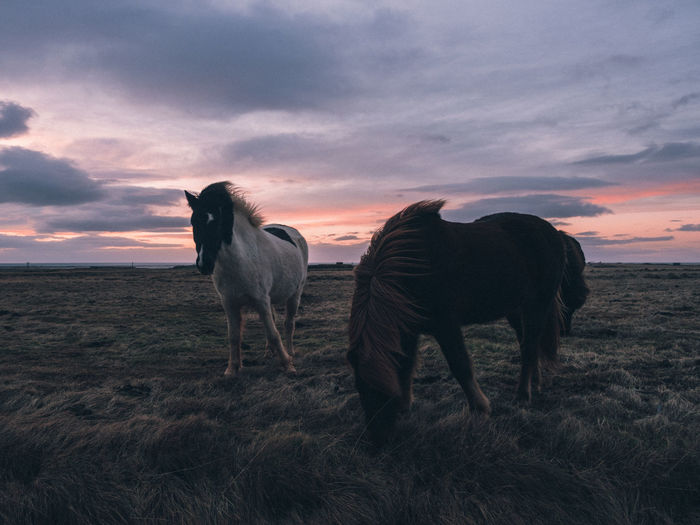Iceland Horse Icelandic Horse Animal Domestic Domestic Animals Mammal Sky Animal Themes Sunset Cloud - Sky Land Field Group Of Animals Animal Wildlife Two Animals Outdoors Standing No People Nature Landscape