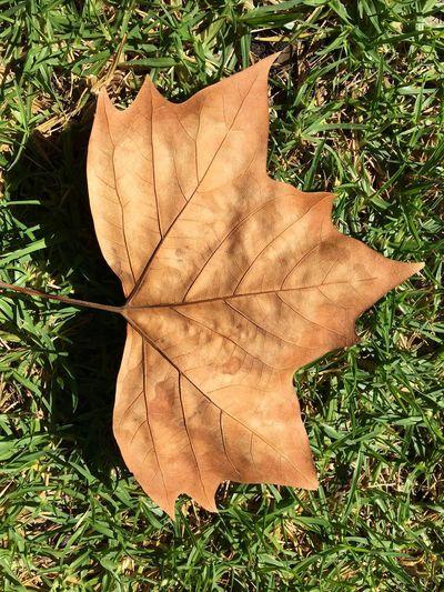 Perth Leaf