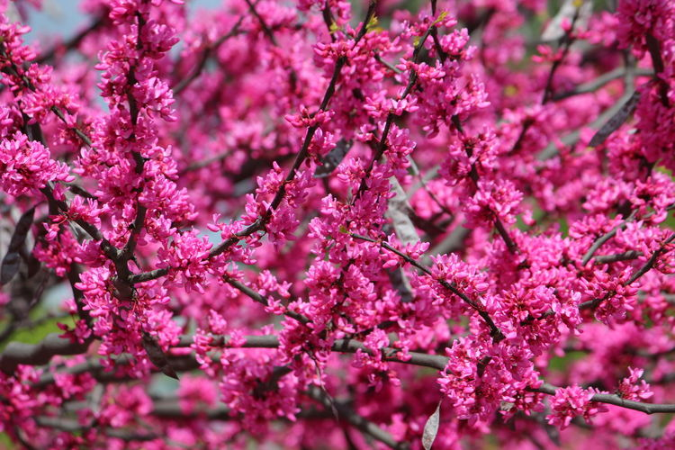 Beauty In Nature Blossom Botany Branch Cherry Blossom Cherry Tree Close-up Day Flower Flower Head Flowering Plant Fragility Freshness Growth Nature No People Outdoors Pink Color Plant Plum Blossom Selective Focus Spring Springtime Tree Vulnerability