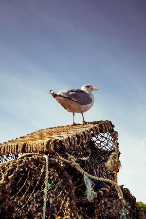 Wales seagull Animal Animal Wildlife Bird Seagull Fishernet Fish Trap Harbour Coast Animal Nest Young Bird Bird Nest Nest