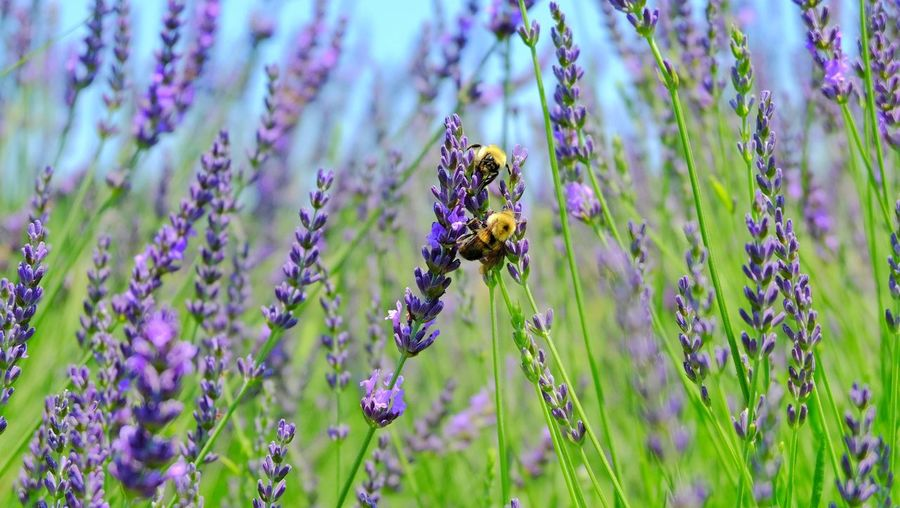 Bee pollinating on purple flowering plant