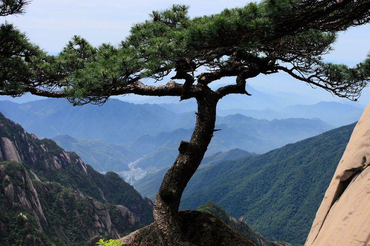 黄山 Tree Plant