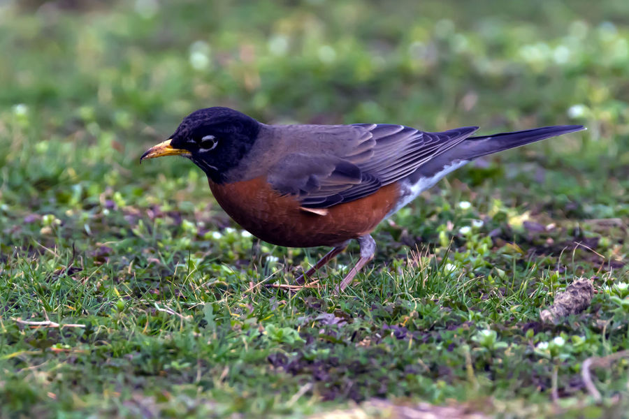 American Robin Bird American Robin Animal Photography Animal Themes Animal Wildlife Animals In The Wild Animals In The Wild Beauty In Nature Bird Bird Photography Birds Birds Of EyeEm  Birds_collection Birdwatching Close Up Close-up Curious Day Grass Gray No People One Animal Outdoors Pattern Robin Wildlife Photos
