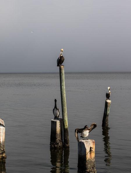 Birds Ocean Pelican Pelicans Pelicans On A Pier Pier