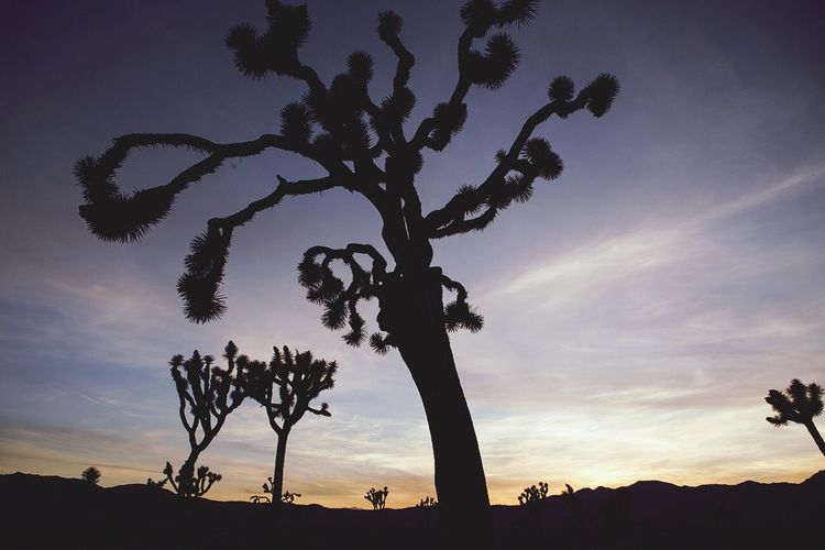 Joshua Tree National Park with a U2 filter. (It's only fitting). Silhouette Tree Joshua Tree Yucca The Great Outdoors - 2016 EyeEm Awards