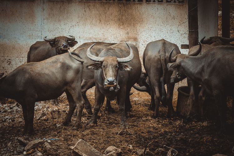 buffalo Thai Animal Wildlife Animal Animal Themes Domestic Animals Buffalo Water Buffalo Vertebrate