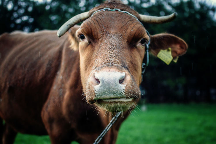 Close-up portrait of brown cow standing on field