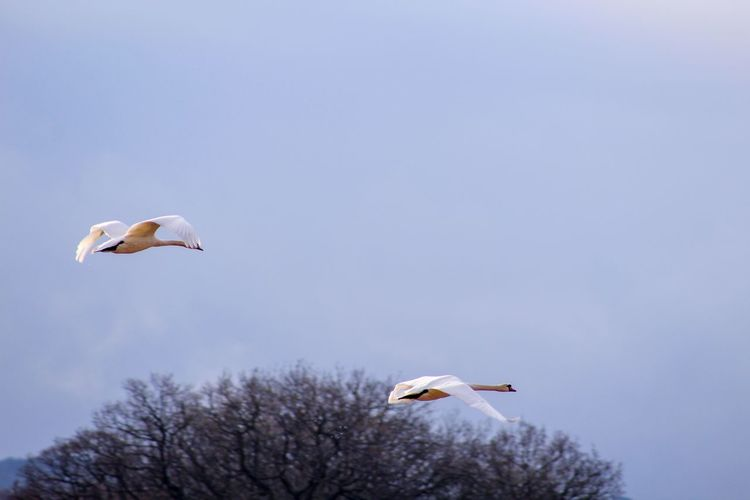Male Animal Female Animal EyeEm Best Shots EyeEm Nature Lover EyeEmBestPics EyeEm Best Shots - Nature Beauty In Nature Wonders Of Nature Water Bird Swan Bird Spread Wings Flying Mid-air Tree Sky Animal Wing Mute Swan White Swan Freshwater Bird